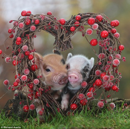 valentines-micro-pigs1